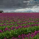 The Tulips Farm by Dan Mihai
