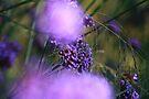 Lilac Bokah by John Dalkin