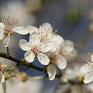 Plum blossom by Nicole W.