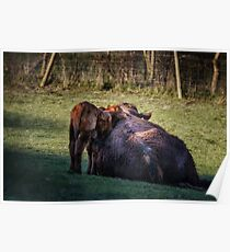 Nuzzling Calf Poster