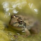 Cape River Frog (juvenile) by Etwin