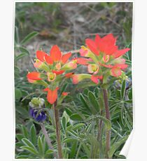 Friends - Indian Paintbrush Poster