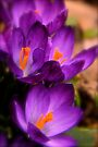 Art Of the Crocus 2 by NatureGreeting Cards ©ccwri