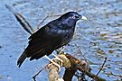 Satin Bowerbird  ~ Wet Satin by Robert Elliott