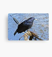 Satin Bowerbird  ~ Wet Satin Metal Print