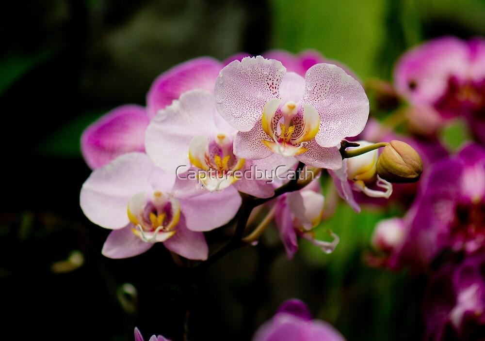 Purple Orchid by CapturedbyCath