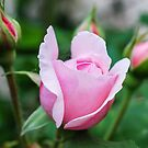Another pink bud  by DebbyScott