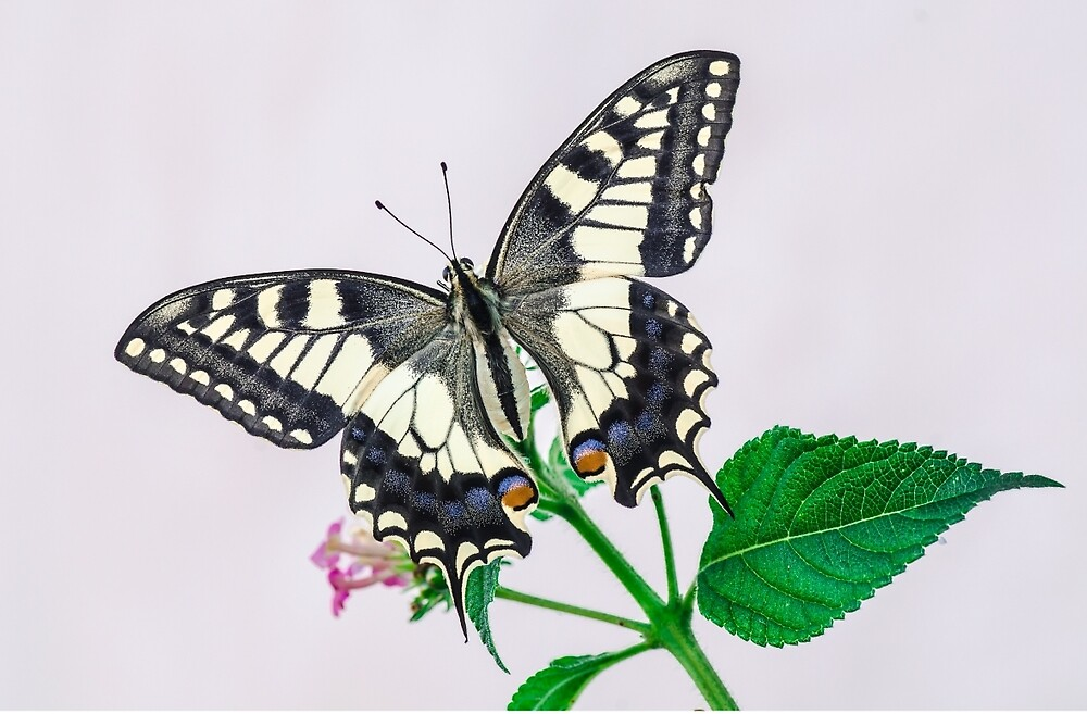Butterfly by ciotola55