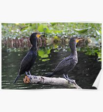 Double Double-crested Cormorant Poster