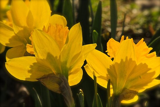 Golden Daffodils by NatureGreeting Cards ©ccwri