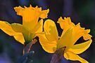 Daffodils in the setting sun. by NatureGreeting Cards ©ccwri