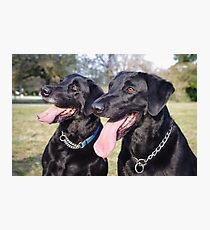 Labrador Retrievers Photographic Print
