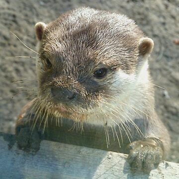 Otter by Ihazart