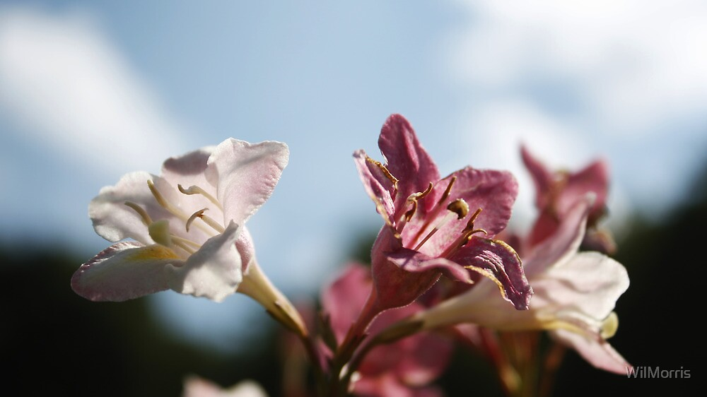 Pink and White Flowers by WilMorris