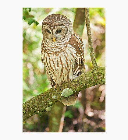 Baard Owl  Photographic Print