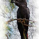 Red-tailed Black Cockatoo by DaveBassett