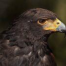 Harris' Hawk by TeresaB