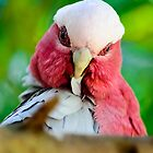 Galah preening by GD-Images