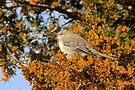 Mockingbird 2 by NatureGreeting Cards ©ccwri