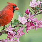 Cardinal on Crab Apple Branch by Bonnie T.  Barry