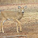 Sweet Little Doe ~ by Ginny York