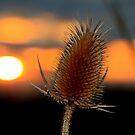 Thistle Sunset by Adam Kuehl