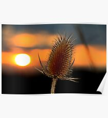 Thistle Sunset Poster