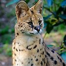 African Serval  by Chris  Randall