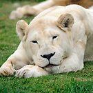 Female White Lion by Chris  Randall