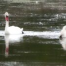 Swans by Elisabeth and Barry King™ by BE2gether