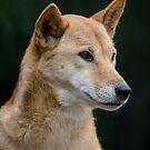 Australian Dingo by Chris  Randall