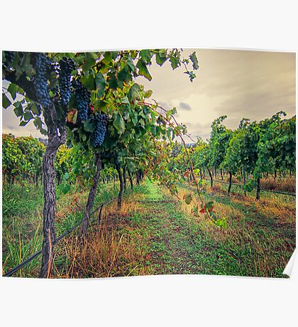 Vineyard Colours Poster