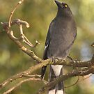 Currawong at Halls Gap by Aden Brown