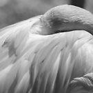 Black & White Pink Flamingo by cadman101