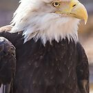 Bald Eagle profile 03 by cadman101