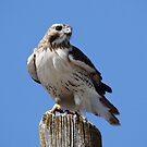 Red Tail by swaby