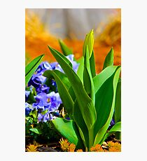 Tulip Bud Photographic Print