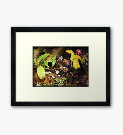 Dyeing Dart Frog Framed Print