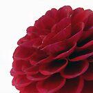 Red Dahlia  by elsha
