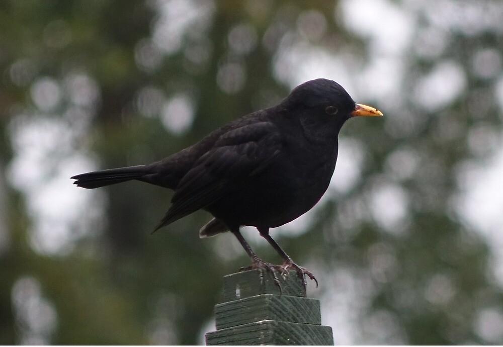 Blackbird by frogs123
