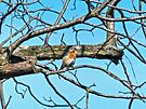 Spring Bluebird by FrankieCat