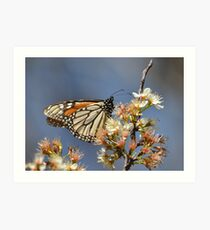 Monarch on a mexican plum tree Art Print