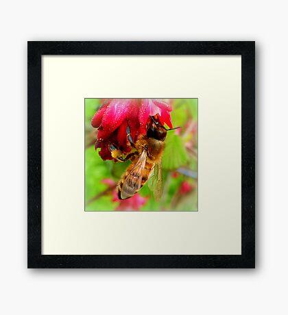 Bee on Jostaberry flower Framed Print