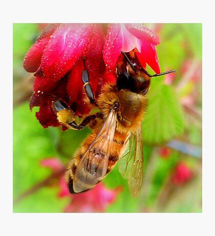 Bee on Jostaberry flower Photographic Print