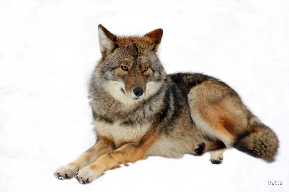 Timber Wolf by vette