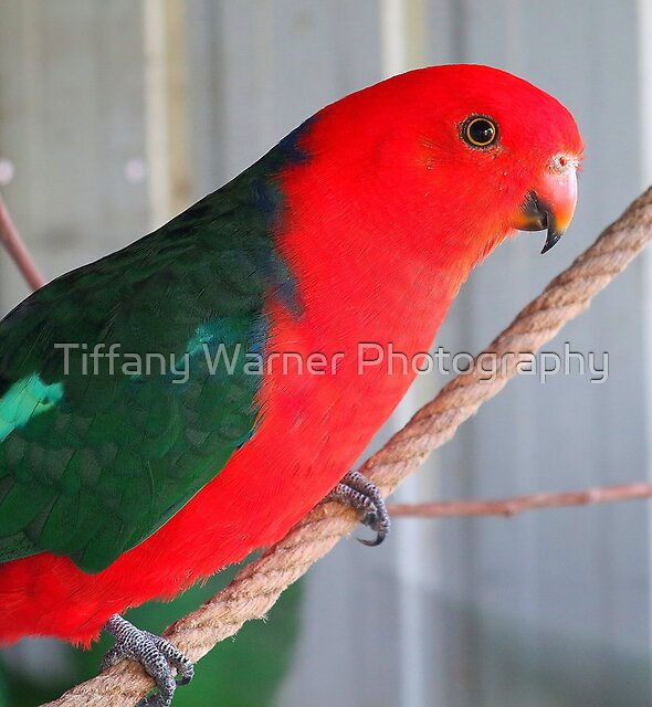 Australian king Parrot by Tiffany Warner Photography