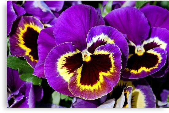Purple pansy flowers by perlphoto
