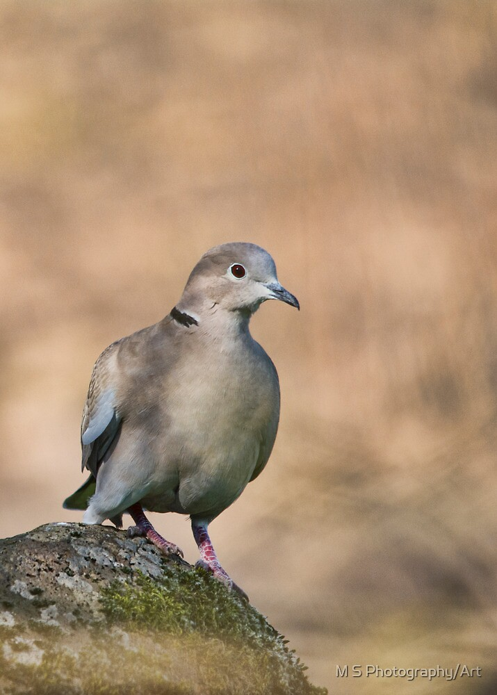 Collared Dove by M S Photography/Art