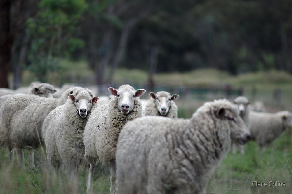 Sheep Country NSW by Clare Colins
