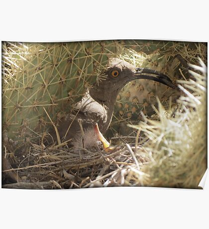 Curved-billed Thrasher with Gentle Babe Poster